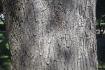 Pagoda Tree Bark