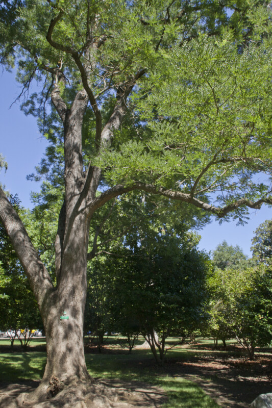 Pagoda Tree (Styphnolobium japonicum)