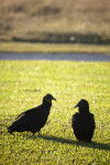 Pair of Black Vultures in the Grass
