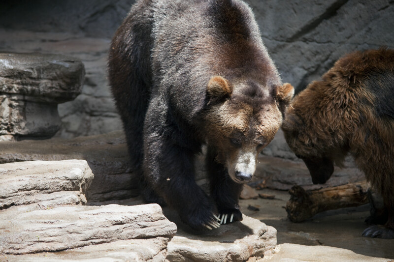 Pair of Brown Bears