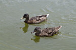 Pair of Ducks in Water
