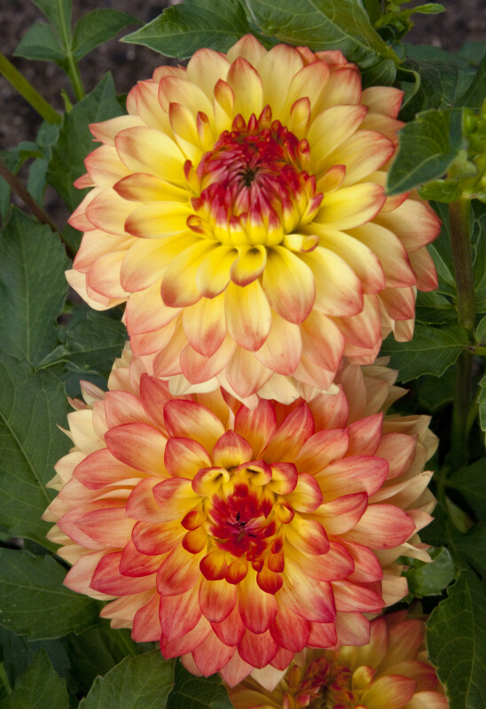 "Pair of ""Gazani"" Dahlias"