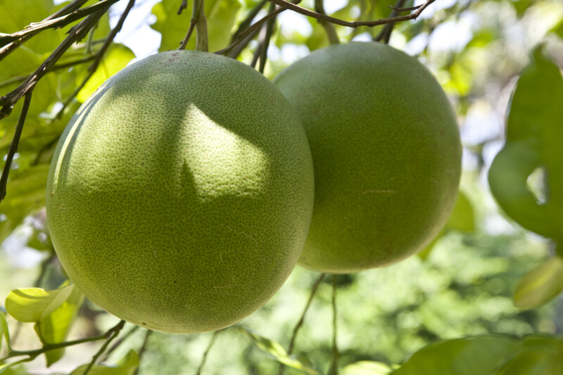 Pair of Grapefruits