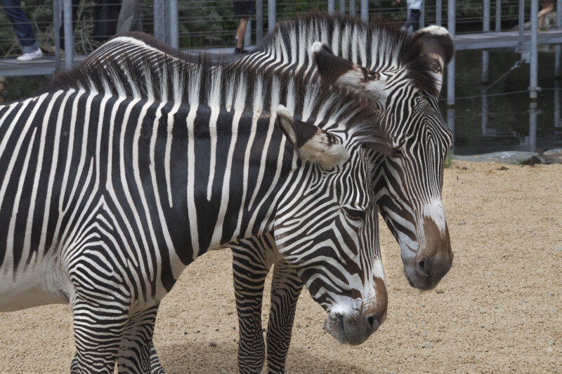 Pair of Grevy's Zebras Standing Close Together at the Artis Royal Zoo