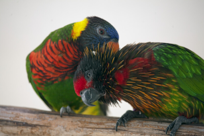 Pair of Lorikeets Grooming
