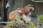 Pair of Patas Monkeys