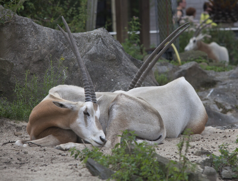 Pair of Scimitar Oryx Resting on the Ground at the Artis Royal Zoo