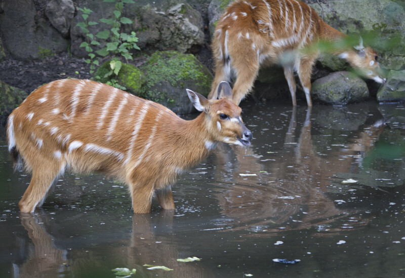 Pair of Sitatunga Standing in Water at the Artis Royal Zoo
