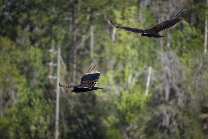 Pair of Turkey Vultures