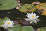 Pair of White Water Lily Flowers