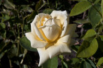 "Pale Yellow Flower of a ""Helmut Schmidt"" Hybrid Tea Rose"