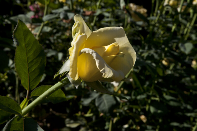 Pale Yellow 'New Day' Rose Flower at Capitol Park in Sacramento