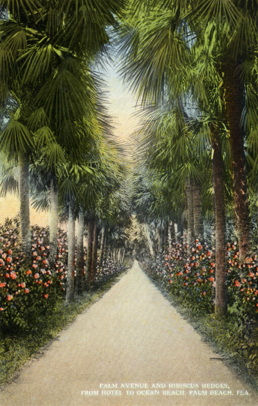 Palm Avenue and Hibiscus Hedges
