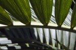 Palm Frond Close-Up