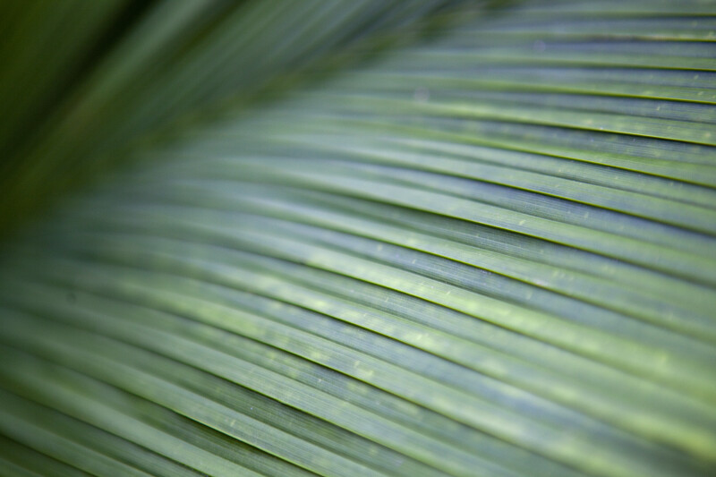 Palm Frond Texture