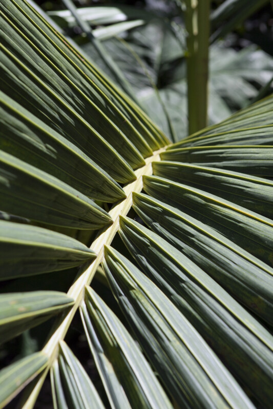 Palm Frond Up Close