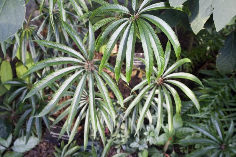 Palm Leaf Begonia