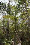 Palm Tree Along Big Cypress Bend Boardwalk