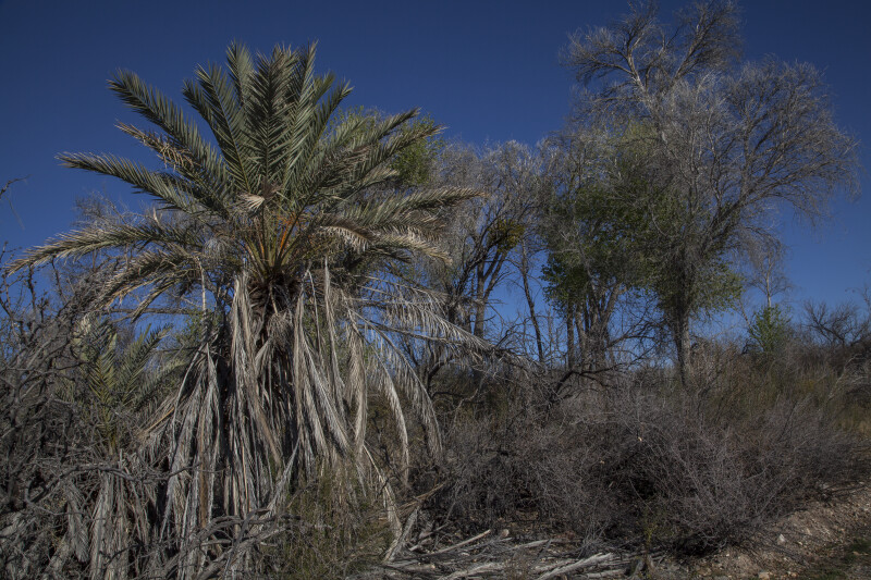 Palm Tree and Other Trees along the Chihuanhuan Desert Trail of Big Bend National Park