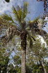 Palm Tree at Mahogany Hammock of Everglades National Park
