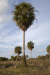 Palm Tree at the Flamingo Campgrounds of Everglades National Park
