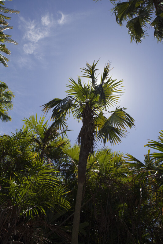 Palm Tree (Coccothrinax sp.)