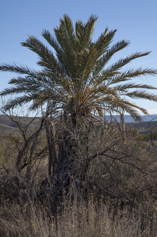 Palm Tree Growing Along the Chihuanhuan Desert Trail of Big Bend National Park