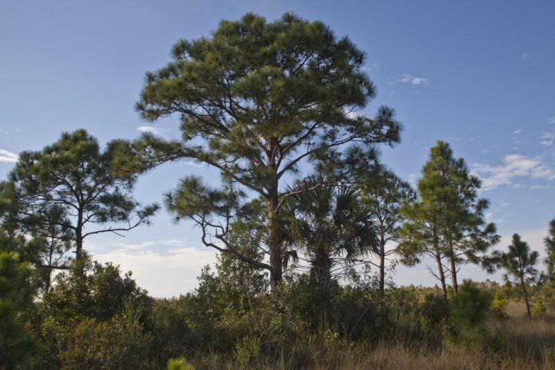 Palm Tree Under Pine Tree