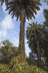 Palm Trees Growing Amongst a Number of Aloe Plants at the Rancho Los Alamitos Historic Ranch and Gardens