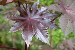Palmate, Glossy, Toothed, Deep-Purple Castor Oil Plant Leaf