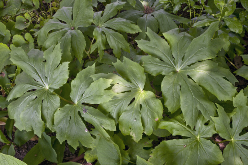 Palmate, Green Leaves of a Mayapple Plant
