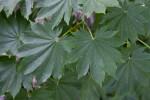 Palmate Leaves