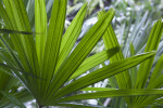 Palmate Saw Palmetto Leaf Close-Up