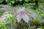 Palmate, Toothed Castor Oil Plant Leaves