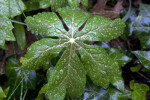 Palmately Lobed Mayapple Leaf