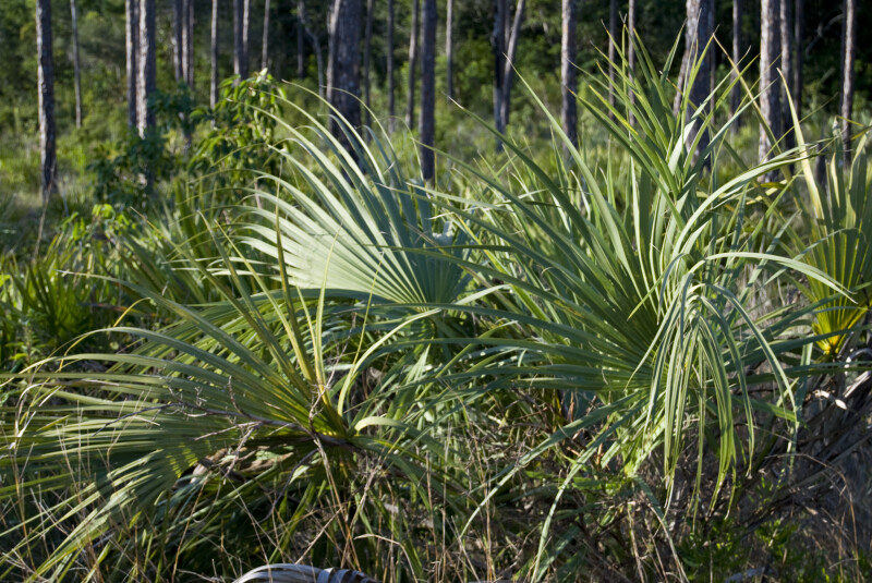 Palmettos and Pines