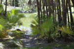 Palmettos Near a Pond