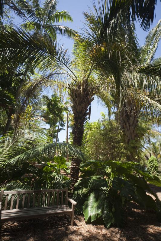 Palms (Attalea phalerata) and Elephant Ears