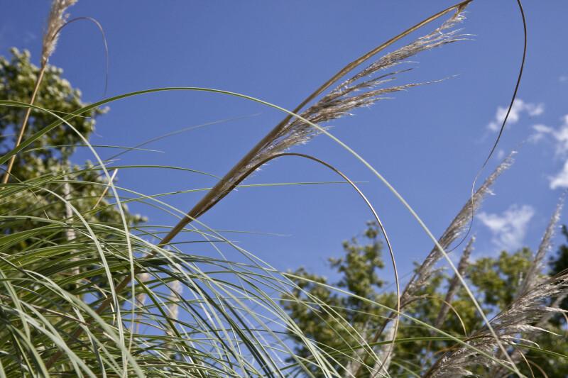 Pampas Grass Detail