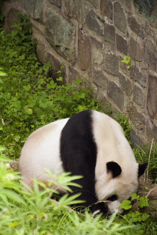 Panda Near Wall