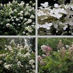 Panicle Hydrangeas photographs