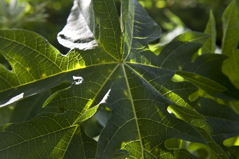 Papaya Leaf Close-Up
