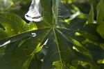 Papaya Leaf Close-Up