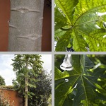 Papaya Trees photographs