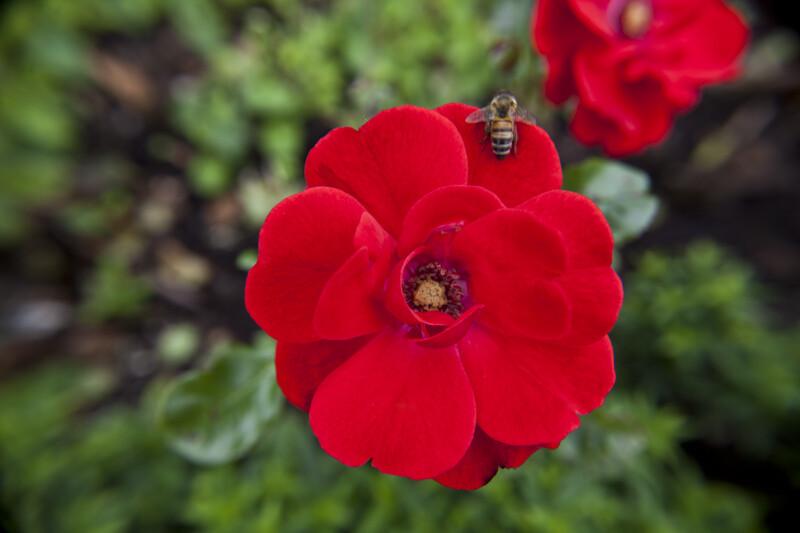 Paprika Floribunda-Rose