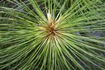 Papyrus Plant Cluster Close-Up