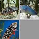 Parrotfish photographs