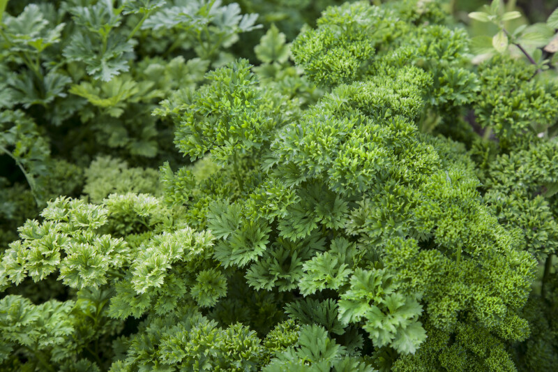 Parsley at the Fruit and Spice Park