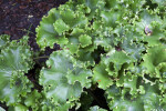 Parsley Leopard Plant at the Kanapaha Botanical Gardens