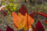 Partially Sunlit Maple Leaf
